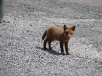 Picture 3 - Fox