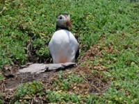 Picture 1 - Puffin